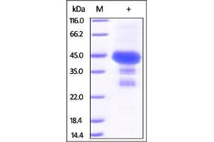 Image no. 1 for Protein tyrosine Phosphatase Type IVA, Member 2 (PTP4A2) (AA 2-167) protein (GST tag) (ABIN2181677)