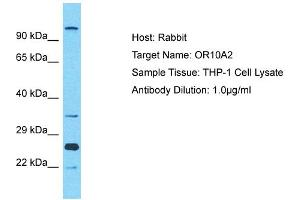 Image no. 1 for anti-Olfactory Receptor, Family 10, Subfamily A, Member 2 (OR10A2) (C-Term) antibody (ABIN2791801)