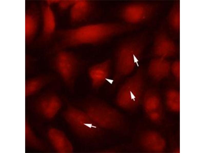 Immunofluorescence (IF) image for anti-Tubulin, beta 2B (TUBB2B) antibody (ABIN5590381)