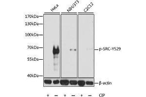 Image no. 2 for anti-Proto-oncogene tyrosine-protein kinase Src (Src) (pTyr529) antibody (ABIN3019743)