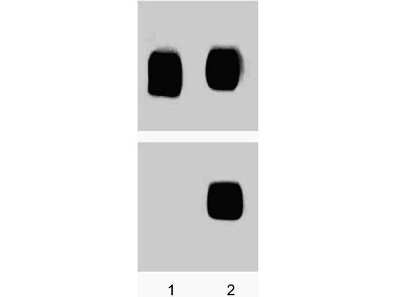 Western Blotting (WB) image for anti-MAP kinase p38 (p38) (pThr180) antibody (ABIN968803)