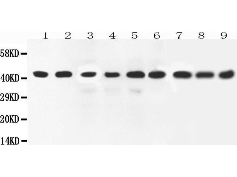 Western Blotting (WB) image for anti-Mitogen-Activated Protein Kinase 1 (MAPK1) (AA 348-360), (C-Term) antibody (ABIN3042634)