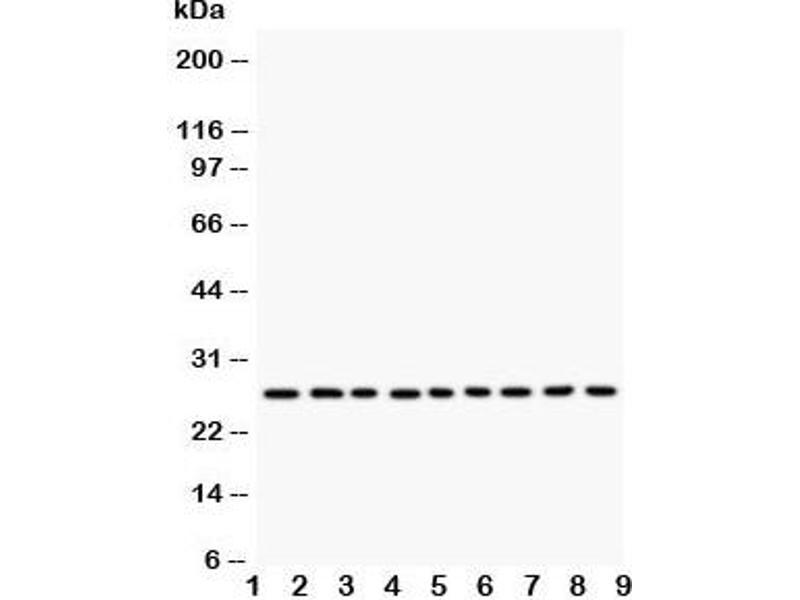 Western Blotting (WB) image for anti-Kallikrein 6 antibody (KLK6) (C-Term) (ABIN3031530)