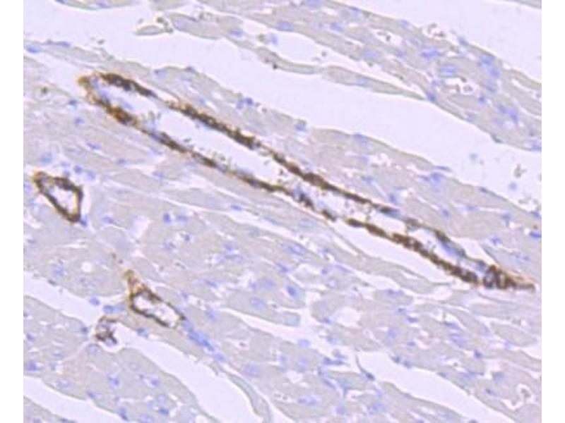 Immunohistochemistry (Paraffin-embedded Sections) (IHC (p)) image for anti-Hepcidin Antimicrobial Peptide (HAMP) antibody (ABIN5951038)