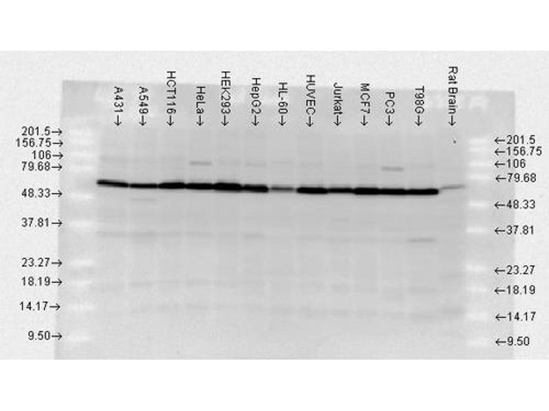 Western Blotting (WB) image for anti-Heat Shock Protein 70 (HSP70) (full length) antibody (PE-Atto 594) (ABIN2486676)