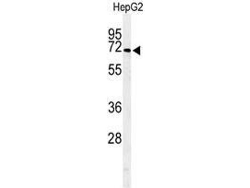 Western Blotting (WB) image for anti-Arylsulfatase I (ARSI) (AA 461-491), (C-Term) antibody (ABIN950522)