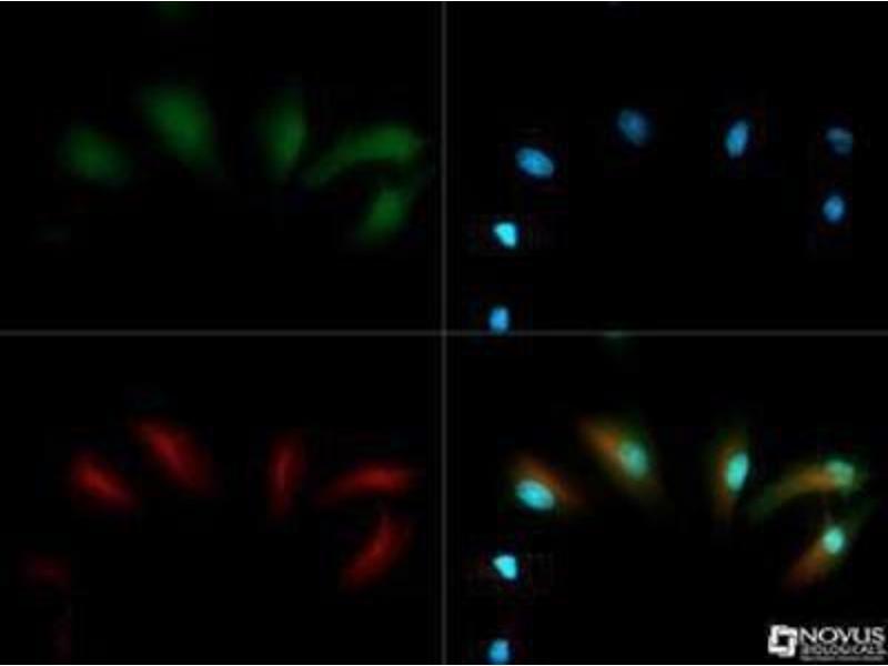 Immunofluorescence (IF) image for anti-Egl Nine Homolog 1 (C. Elegans) (EGLN1) (AA 1-50) antibody (ABIN151071)