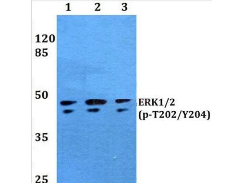 Western Blotting (WB) image for anti-Mitogen-Activated Protein Kinase 1/3 (MAPK1/3) (pThr202), (pTyr204) antibody (ABIN447087)