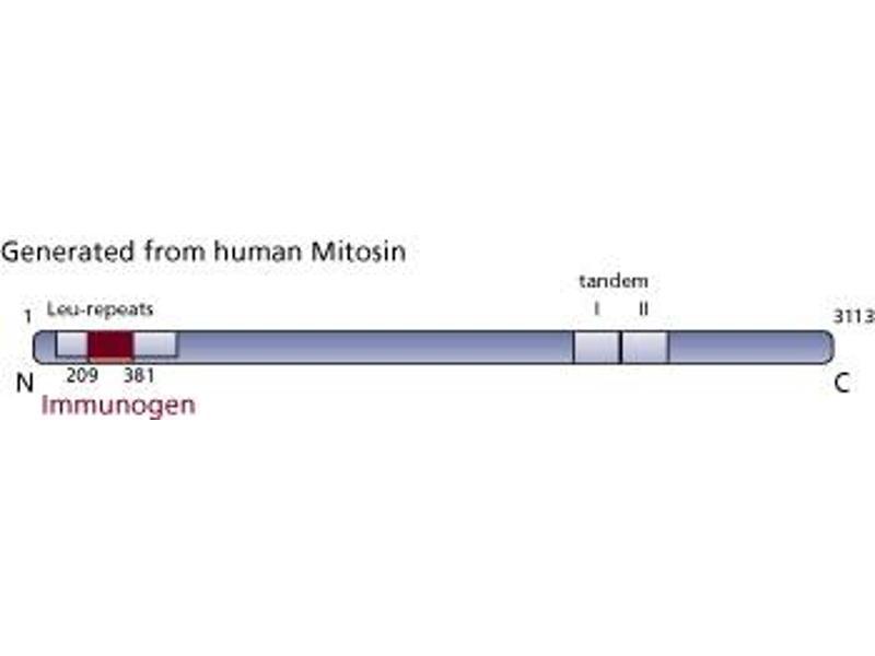image for anti-CENPF antibody (Centromere Protein F) (AA 209-381) (ABIN968167)