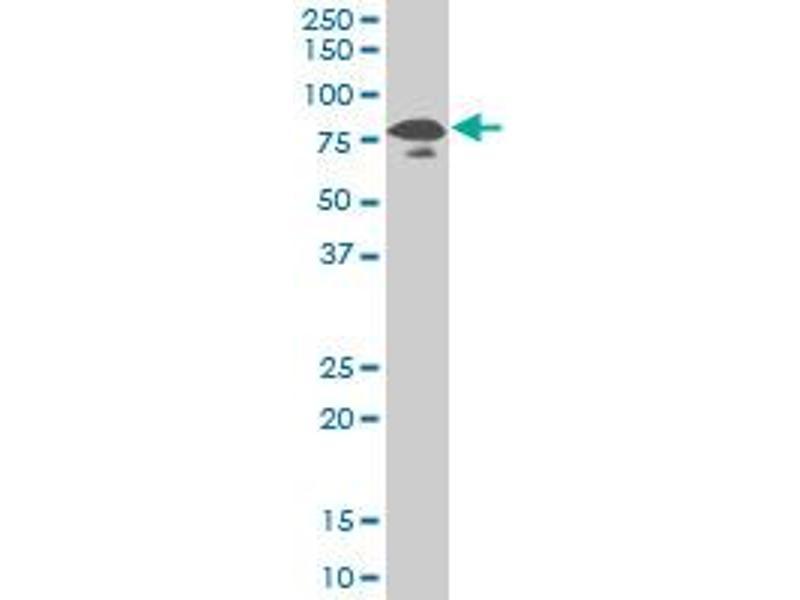 Western Blotting (WB) image for anti-KAT2B antibody (K(lysine) Acetyltransferase 2B) (AA 353-452) (ABIN522307)