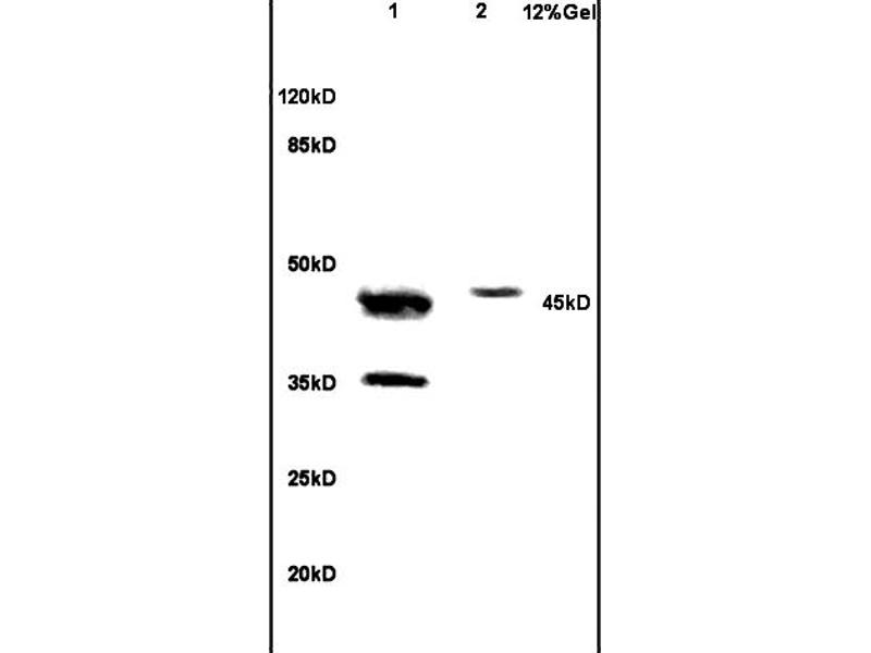 SDS-PAGE (SDS) image for anti-NCF1 antibody (Neutrophil Cytosol Factor 1) (AA 165-210) (ABIN750643)