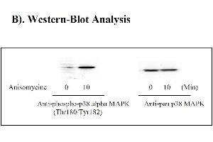 Image no. 3 for Mitogen-Activated Protein Kinase 14 (MAPK14) ELISA Kit (ABIN625229)
