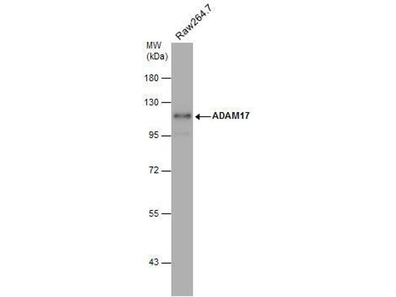 Western Blotting (WB) image for anti-ADAM Metallopeptidase Domain 17 (ADAM17) (C-Term) antibody (ABIN2855021)