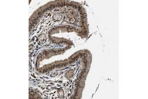 Image no. 1 for anti-Solute Carrier Family 15 (H+/Peptide Transporter), Member 4 (SLC15A4) antibody (ABIN5588055)