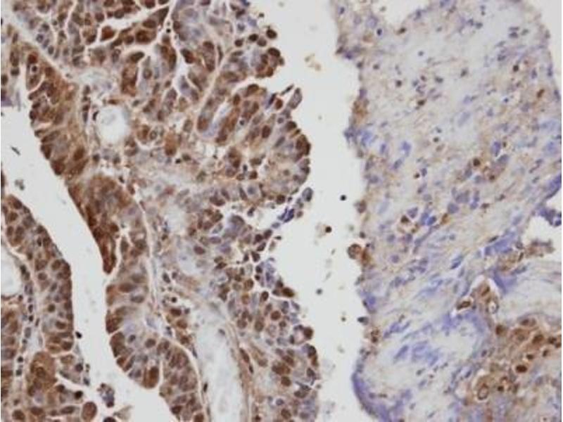 Immunohistochemistry (Paraffin-embedded Sections) (IHC (p)) image for anti-Vav 1 Oncogene (VAV1) (Center) antibody (ABIN441430)