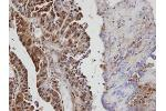 Immunohistochemistry (Paraffin-embedded Sections) (IHC (p)) image for anti-VAV1 antibody (Vav 1 Oncogene) (ABIN441430)