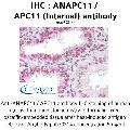 anti-Anaphase Promoting Complex Subunit 11 (ANAPC11) (Internal Region) antibody