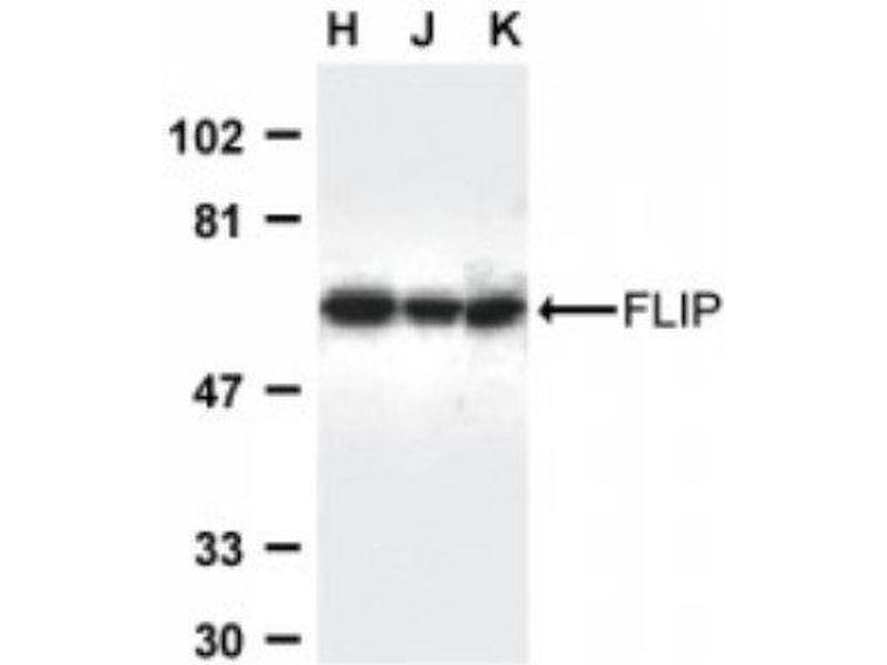 Western Blotting (WB) image for anti-CFLAR antibody (CASP8 and FADD-Like Apoptosis Regulator) (C-Term) (ABIN4312111)