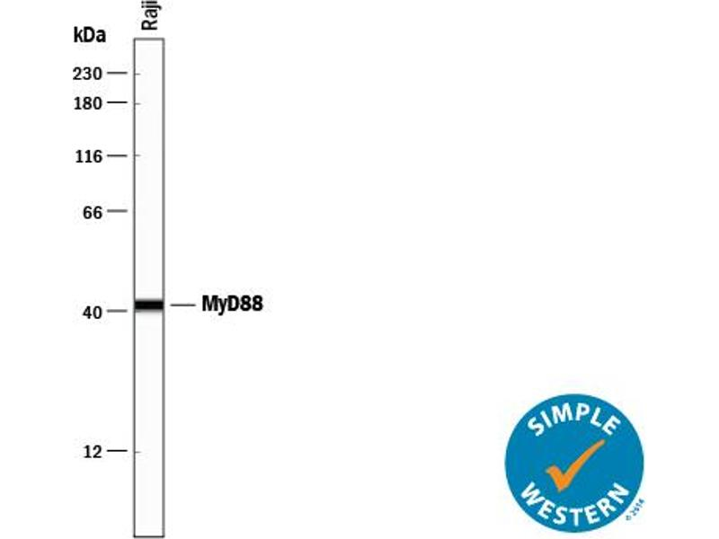 Simple Western (SimWes) image for anti-MYD88 antibody (Myeloid Differentiation Primary Response Gene (88)) (AA 1-296) (ABIN4899042)