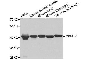 Image no. 3 for anti-Creatine Kinase, Mitochondrial 2 (Sarcomeric) (CKMT2) antibody (ABIN6138655)