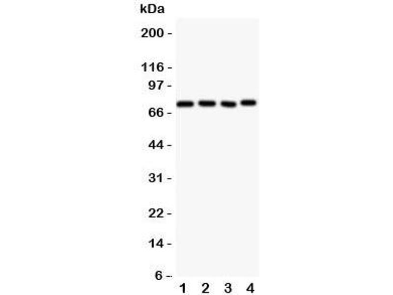 Western Blotting (WB) image for anti-Nuclear Receptor Subfamily 4, Group A, Member 3 (NR4A3) (AA 612-631) antibody (ABIN3032066)