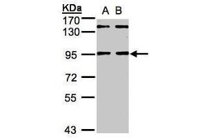 Image no. 1 for anti-DDB1 and CUL4 Associated Factor 6 (DCAF6) (Center) antibody (ABIN2854537)