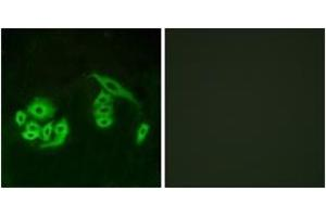 Image no. 1 for anti-G Protein-Coupled Receptor 12 (GPR12) (AA 1-50) antibody (ABIN1535733)