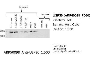 Image no. 3 for anti-Ubiquitin Specific Peptidase 30 (Usp30) (Middle Region) antibody (ABIN2773957)