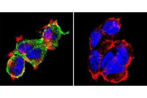 Immunofluorescence (IF) image for anti-NFATC1 antibody (Nuclear Factor of Activated T-Cells, Cytoplasmic, Calcineurin-Dependent 1) (AA 1-654) (ABIN152773)