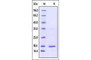 Image no. 2 for Tumor Necrosis Factor alpha (TNF) (AA 77-233) (Active) protein (His tag) (ABIN4949149)