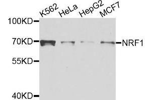 Image no. 1 for anti-Nuclear Factor (erythroid-Derived 2)-Like 1 (NFE2L1) antibody (ABIN4905385)