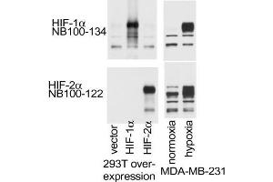 Western Blotting (WB) image for anti-Hypoxia Inducible Factor 1, alpha Subunit (Basic Helix-Loop-Helix Transcription Factor) (HIF1A) (Internal Region) antibody (ABIN151066)