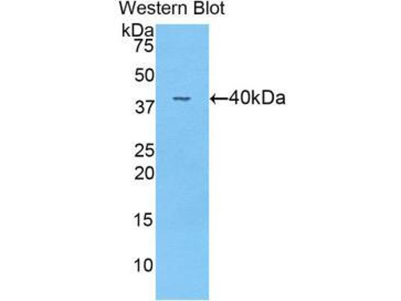 Western Blotting (WB) image for anti-Angiopoietin 4 (ANGPT4) (AA 32-144) antibody (ABIN1857997)
