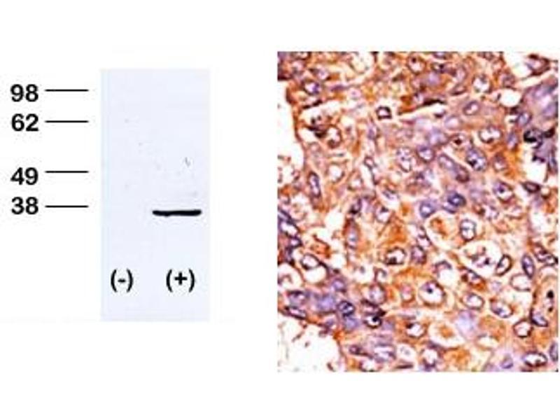 Image no. 2 for anti-CDK1 antibody (Cyclin-Dependent Kinase 1) (pThr161) (ABIN358102)