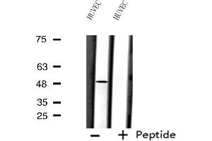 Image no. 3 for anti-Forkhead Box D3 (FOXD3) antibody (ABIN6257183)