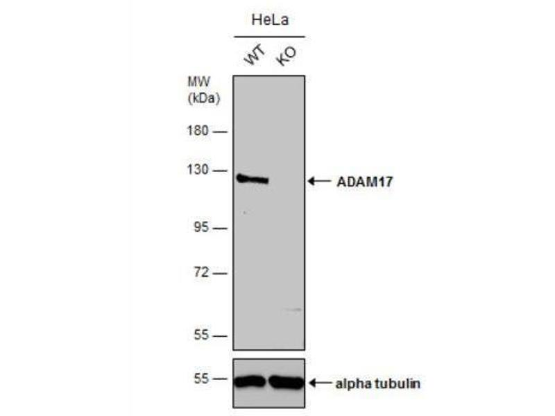 Western Blotting (WB) image for anti-ADAM Metallopeptidase Domain 17 (ADAM17) (C-Term) antibody (ABIN4357504)