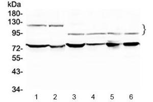 Image no. 1 for anti-Nuclear Factor of Activated T-Cells, Cytoplasmic, Calcineurin-Dependent 4 (NFATC4) antibody (ABIN5647598)