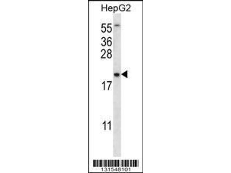 Western Blotting (WB) image for anti-UBE2NL antibody (Ubiquitin-Conjugating Enzyme E2N-Like) (AA 6-34) (ABIN656527)