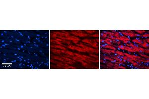 Image no. 1 for anti-Methionine Sulfoxide Reductase A (MSRA) (Middle Region) antibody (ABIN2786871)