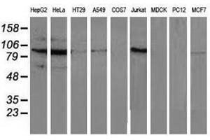 Image no. 2 for anti-Mitogen-Activated Protein Kinase 12 (MAPK12) antibody (ABIN1499301)