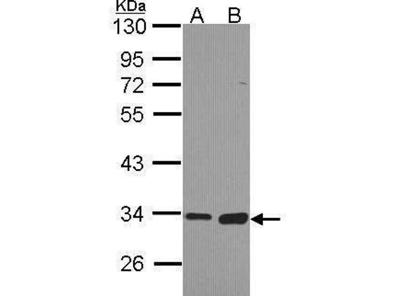 Western Blotting (WB) image for anti-Monoglyceride Lipase (MGLL) (Center) antibody (ABIN2855646)