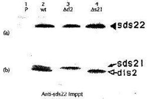 Image no. 3 for anti-Protein Phosphatase 1, Regulatory Subunit 7 (PPP1R7) (C-Term) antibody (ABIN2452121)