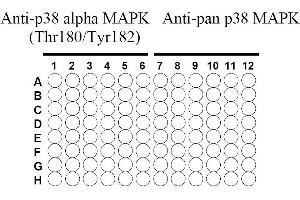 Image no. 4 for Mitogen-Activated Protein Kinase 14 (MAPK14) ELISA Kit (ABIN625242)