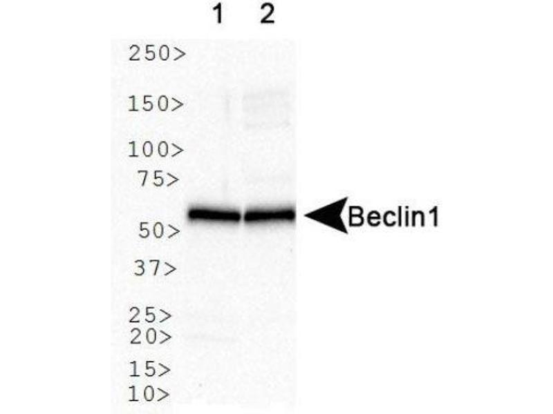 Western Blotting (WB) image for anti-Beclin 1 antibody (Beclin 1, Autophagy Related) (AA 1-100) (ABIN268927)
