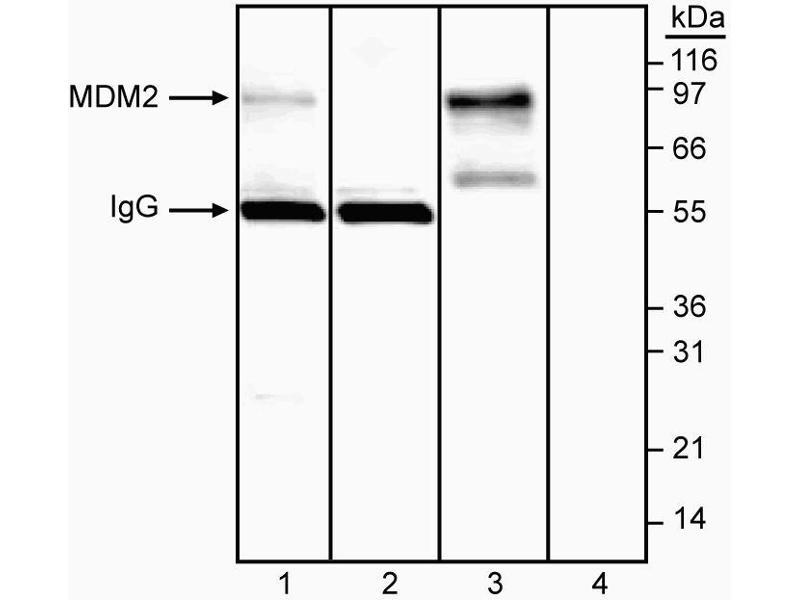 Western Blotting (WB) image for anti-Mdm2, p53 E3 Ubiquitin Protein Ligase Homolog (Mouse) (MDM2) (AA 154-167) antibody (ABIN967511)