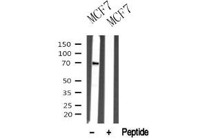 Image no. 1 for anti-P21 Protein (Cdc42/Rac)-Activated Kinase 1/2 (PAK1/2) antibody (ABIN6268548)