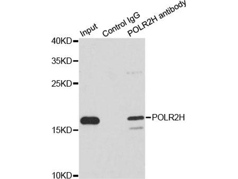 Image no. 1 for anti-Polymerase (RNA) II (DNA Directed) Polypeptide H (POLR2H) antibody (ABIN6567889)