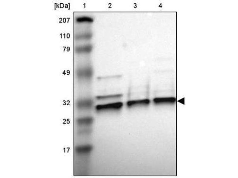 Image no. 1 for anti-Apolipoprotein O-Like (APOOL) antibody (ABIN4281245)