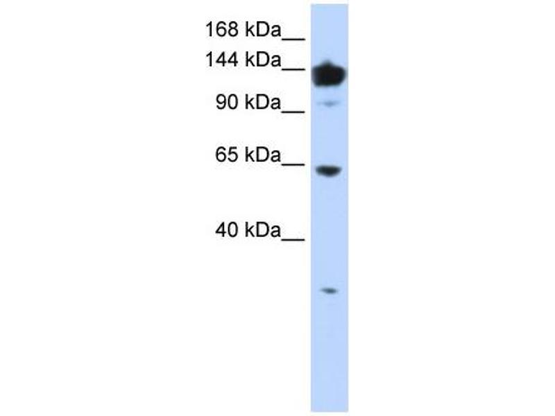 Western Blotting (WB) image for anti-Valyl-tRNA Synthetase (VARS) (Middle Region) antibody (ABIN502716)