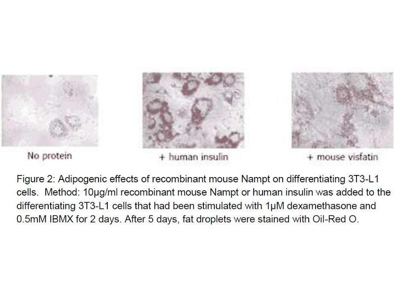 Immunohistochemistry (IHC) image for Nicotinamide phosphoribosyltransferase (NAMPT) (Active) protein (ABIN413887)